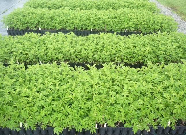 Le jus de sureau extrait des baies de sureau est un antiviral naturel une plante m dicinale - Plant de rhubarbe a vendre ...