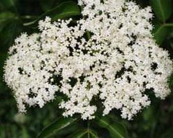 Fleurs De Sureau Plante Medicinale Anti Inflammatoire Anti